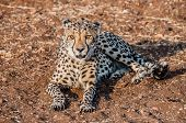 picture of veld  - A Cheetah lying on the ground in the bush veld of Namibia completely visible - JPG