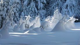 picture of gnome  - small spruces covered with snow looking like fairytale gnomes - JPG