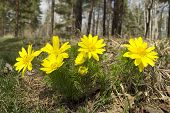 pic of rare flowers  - Adonis rare flower growing in our woods - JPG