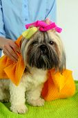 picture of barbershop  - Cute Shih Tzu and hairdresser in barbershop - JPG