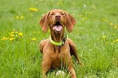 stock photo of vizsla  - The Hungarian Vizsla shorthaired lying in a meadow among dandelions - JPG