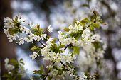 pic of tree-flower  - Beautiful white flowers of cherry tree - JPG