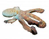 stock photo of sucker-fish  - Live underwater Octopus isolated on white background - JPG