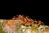 stock photo of ant  - Ant colony carrying food back to the nest - JPG