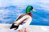 stock photo of duck-hunting  - Mallard duck posing on the sea wall by the edge - JPG
