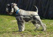 stock photo of schnauzer  - Miniature Schnauzer puppy dog on the nature - JPG