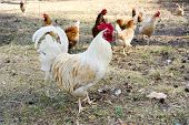 stock photo of poultry  - White rooster and chickens on traditional free range poultry farm - JPG