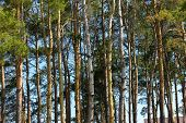 pic of redwood forest  - the trees on the forest with a blue sky - JPG