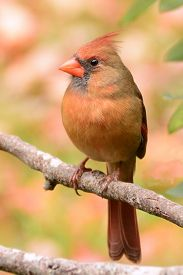 picture of cardinal-bird  - Female Cardinal bird on branch in autumn with colorful leaves in background. Note shallow depth of field. ** Note: Visible grain at 100%, best at smaller sizes - JPG