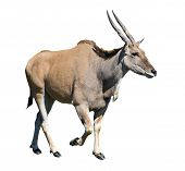 pic of eland  - Eland antelope isolated over white background - JPG