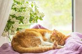 Red-and-white Cat Is Sleeping On The Windowsill. poster