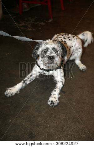 poster of Dalmatian - Shi tzu  dog combination.  Designer dog. Shi tzu and Dalmatian dog combination.