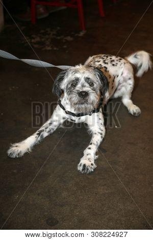 poster of Dalmatian - Shi tzu  dog combination.  Designer dog. Shi tzu and Dalmatian dog combination.