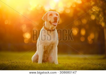 poster of Happy Purebred Labrador Retriever Dog Outdoors Sitting On Grass Park Sunny Summer Day