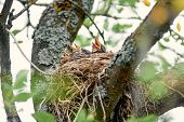Nest Of Thrush With Hungry Chicks. Baby Birds With An Orange Beaks. Nestling Song Thrush poster