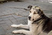 Profile Of A Stray Dog Lying On The Pavement. poster
