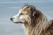 Profile Of White And Brown Colored Stray Dog Sitting In The Street. poster