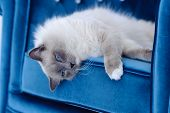 Cat with blue eyes lies on blue chair