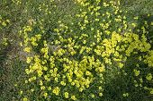 Yellow Clover Flowers Oxalis Stricta, The Common Yellow Woodsorrel, Common Yellow Oxalis, Upright Ye poster