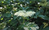 Sambucus Flower Bush, Also Known As Elder, Elderberry, Black Elder, European Elder, European Elderbe poster