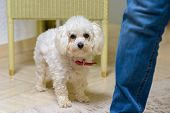 Little White Toy Poodle Standing Alongside Its Owner Wearing Jeans Indoors At Home Peering Curiously poster