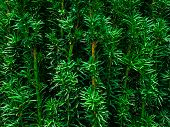 Yew-tree. A Young Tree In A Pot In A Garden Shop. Evergreen Tree poster