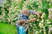 Gardening - Grandfather Gardener In Sunny Garden Planting Roses. Grandfather Working In Garden Near  poster
