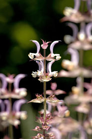 pic of clary  - Salvia sclarea plant commonly known as clary or clary sage - JPG