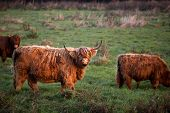 image of highland-cattle  - Scottish red Highland cattle on pasture outdoors