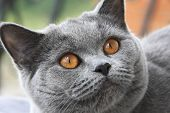 picture of portrait british shorthair cat  - Gray cat with orange eyes British blue shorthair - JPG