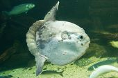 picture of sunfish  - Ocean sunfish  - JPG