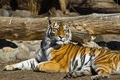 pic of tigress  - Young amur tigress Panthera tigris altaica in the Moscow zoo - JPG