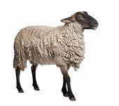image of suffolk sheep  - side view of a Suffolk sheep  - JPG