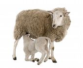 picture of suffolk sheep  - lamb suckling his mother  - JPG