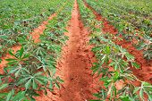 stock photo of cassava  - Cassava or tapioca plant field in Thailand - JPG