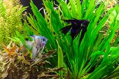 picture of freshwater fish  - A green beautiful planted tropical freshwater aquarium with fish pterophyllum scalare - JPG