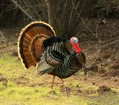 Turkey Tom strutting his stuff with red wattles and blue/white head