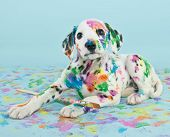 picture of little puppy  - A silly little Dalmatian puppy that looks like he got into the art supplies on a blue background - JPG