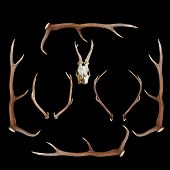 picture of cervus elaphus  - deer hunting trophies  - JPG