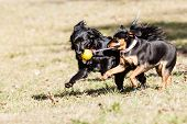 stock photo of mutts  - Running Mutt of german pischer with mutt of English cocker Spaniel with german spitz - JPG