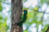 Blue-throated Barbet (megalaima Asiatica)
