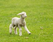 stock photo of farm landscape  - Small cute lamb gambolling in a meadow in New Zealand farm - JPG