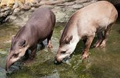 foto of terrestrial animal  - Brazilian tapir  - JPG