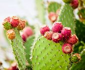 pic of prickly pears  - Prickly pear cactus close up with fruit in red color cactus spines.