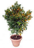 image of clementine-orange  - Orange tree isolated on white. Clipping path included.