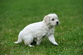 stock photo of swiss shepherd dog  - Baby swiss shepherd sitting on green carpet - JPG