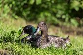 stock photo of male mallard  - Male and female of mallard ducks sitting in the grass - JPG