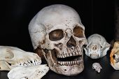 foto of opossum  - A collection of assorted skulls with black backdrop - JPG