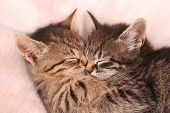 foto of douceur  - Two tabby kittens sleeping in cuddling  - JPG