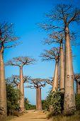 stock photo of baobab  - Famous Avenida de Baobab near Morondava in Madagascar - JPG